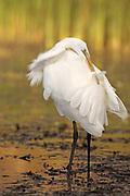 Great (White) Egret, Casmerodius alba, preening, Hungary