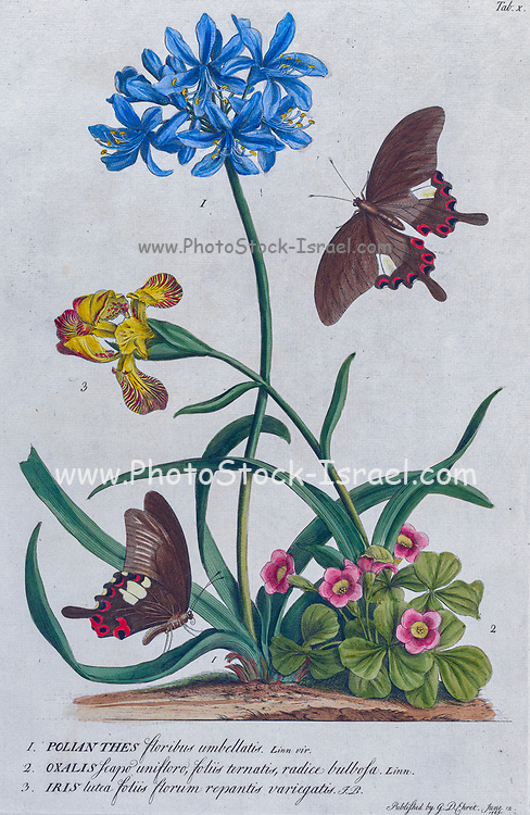 Oxalis and Iris Engraving, hand-colored print of plants and butterflies from Plantae et papiliones rariores (rare plants and butterflies) by Ehret, Georg Dionysius, 1708-1770 Published in London in 1748