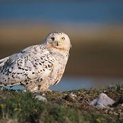 Snowy owl adult and chicks at the nest. Barrow, Alaska
