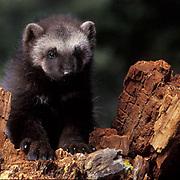 Wolverine, (Gulo gulo) Young kit. Spring. Rocky mountains. Montana.  Captive Animal.