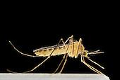 Mosquitoes | Stechmücken
