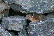 A pika (Ochotona princeps) makes its home among the rocks at Chinook Pass, Washington. Pikas live on rocky mountain sides, using crevices for shelter.