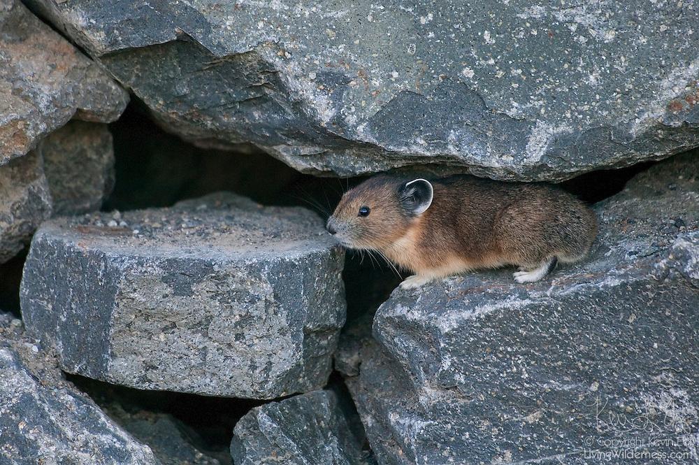 A pika (Ochotona princeps) makes its home among the rocks at Chinook Pass, Washington. Pikas live on rocky mountain sides, using crevices for shelter.