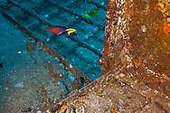 Wheelhouse Cleaner Wrasse and Ringtail Wrasse, Carthaginian, Maui Hawaii