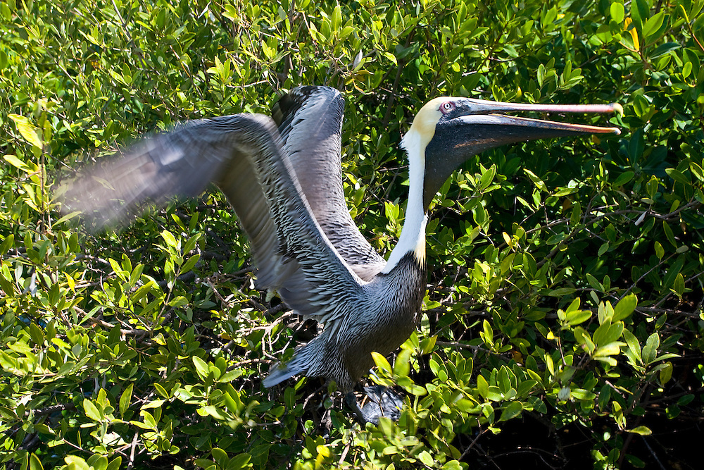 Brown Pelican takes flight from tree branches, Islamorada, Florida Keys, USA