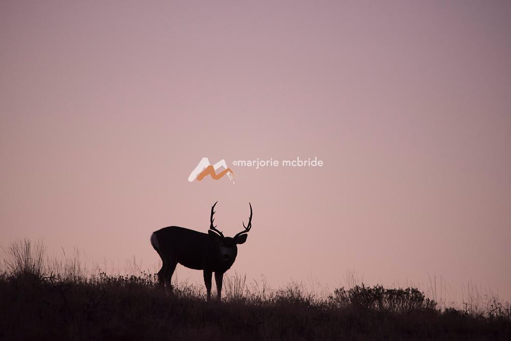Buck silhouette at sunrise