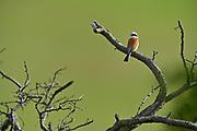 Male red-backed shrike (Lanius collurio); Witzenhausen, Germany | Neuntöter (Lanius collurio) Männchen; (Synonym: Rotrückenwürger, Rotrückiger Würger); Wacholder-Landschaft, Witzenhausen, Deutschland