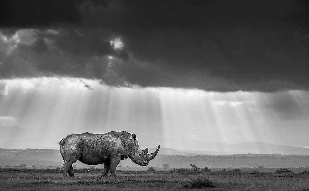 A southern white rhino is bathed in rays of evening light as dark clouds cloak the sinking sun in Solio Rhino Sanctuary