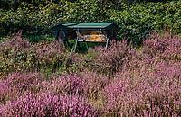 LEUSDEN  -  Bijenkasten tussen de heide, Golfclub de Hoge Kleij  COPYRIGHT KOEN SUYK