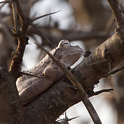 Grey foam-nest tree frog, Londolosi Game Reserve, South Africa.