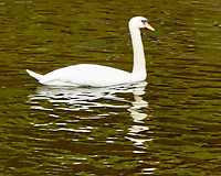 Mute Swan (Cygnus olor). Viewed from the deck of the MV Explorer transiting the Keil Canal in Germany. Image taken with a Nikon N1V2 camera and 80-400 mm VR lens.