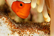 False Clown anemonefish (Amphiprion ocellaris) tending its eggs. North Raja Ampat, West Papua, Indonesia, Pacific Ocean  [size of single organism: 8 cm]| Falsche Clownfisch (Amphiprion ocellaris), der auch Orangeringel- Anemonenfisch genannt wird. Raja Ampat, West Papua, Indonesien, Pazifischer Ozean