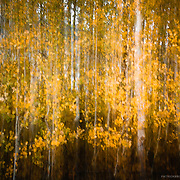 Gold aspen trees, while photographer uses motion during a long exposure, creates an impressionistic photograph.