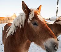 25.01.2014 Nowa Wies k/Suwalk N/z konie na sniegu fot Michal Kosc / AGENCJA WSCHOD