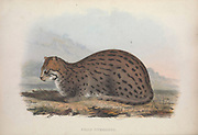 fishing cat (Prionailurus viverrinus) From the book Zoologia typica; or, Figures of new and rare animals and birds described in the proceedings, or exhibited in the collections of the Zoological Society of London. By Fraser, Louis. Zoological Society of London. Published by the author in London, March 1847