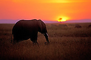 Image of an African Bush Elephant (Loxodonta africana) at the Masai Mara National Reserve in Kenya, Africa by Randy Wells