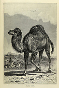 The dromedary (Camelus dromedarius) also called the Arabian camel, is a large even-toed ungulate, of the genus Camelus, with one hump on its back. From the book ' Royal Natural History ' Volume 2 Edited by Richard Lydekker, Published in London by Frederick Warne & Co in 1893-1894