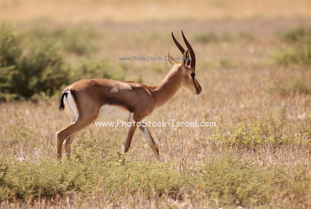 Dorcas Gazelle (Gazella dorcas), also known as the Ariel Gazelle Photographed in Israel in September