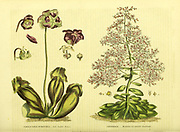 Sarracenia purpurea [Side Saddle Flower] Saxifraga [Mountain Pyramidal Saxifrage] from Vol II of the book The universal herbal : or botanical, medical and agricultural dictionary : containing an account of all known plants in the world, arranged according to the Linnean system. Specifying the uses to which they are or may be applied By Thomas Green,  Published in 1816 by Nuttall, Fisher & Co. in Liverpool and Printed at the Caxton Press by H. Fisher