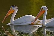 American white pelican ( Pelecanus erythrorhynchos) in man-made pond<br />Winnipeg<br />Manitoba<br />Canada