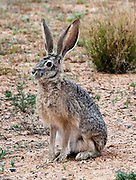 The black-tailed jackrabbit or desert hare (Lepus californicus) is a common animal in the western United States and Mexico.