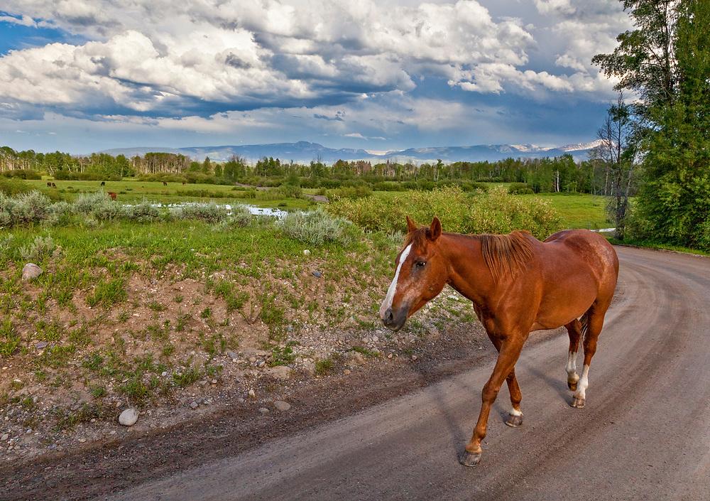 Beautiful Bay Horse moseys along dirt road near South Fork of Snake River and Teton Village near Jackson Hole Wyoming