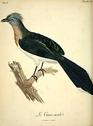 Male Coua Couas are large, mostly terrestrial birds of the cuckoo family, endemic to the island of Madagascar from the Book Histoire naturelle des oiseaux d'Afrique [Natural History of birds of Africa] Volume 5, by Le Vaillant, Francois, 1753-1824; Publish in Paris by Chez J.J. Fuchs, libraire 1799