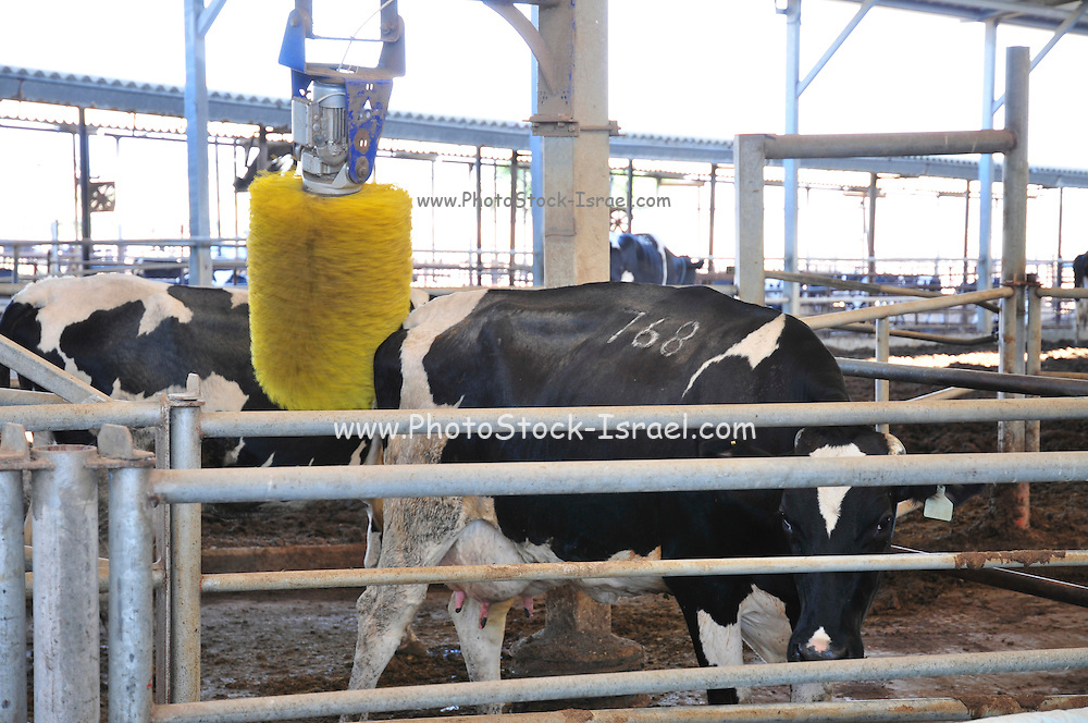 Cows at a Dairy farm. automatic brush scratcher. Photographed in Israel