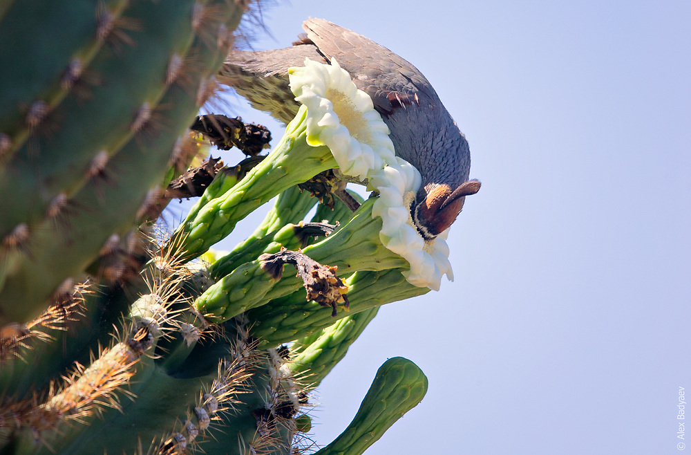 DEEP DEPENDENCIES | Giant saguaro assures abundant gamete deliveries by intoxicating a very willing Gambel's Quail male.