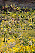 Organ Pipe Cactus (Stenocereus thurberi), on Ajo Mountain, Organ Pipe Cactus National Monument, Arizona, USA