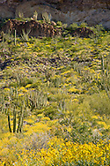 Organ Pipe Cactus (Stenocereus thurberi), on Ajo Mountain, Organ Pipe Cactus National Monument, Arizona, USA