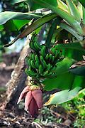 Banana tree<br />