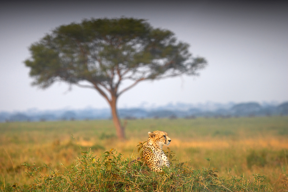 Cheetah resting in front of an Acacia tree in the Serengeti, Tanzania