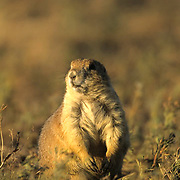 Black-tailed Prairie Dog (Cynomys ludovicians) Alert, looking for predators. Montana.