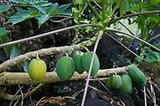 Papaya, Taveuni, Fiji
