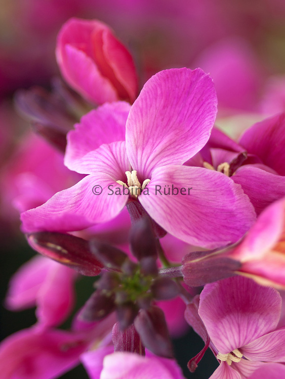 Erysimum cheiri 'Aurora' - common wallflower