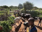 Herding cows. Datoga herder camp near the Hadza camp of Dedauko.