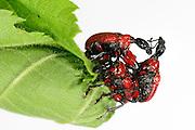 Hazel Leaf-roller Weevil (Apoderus coryli) Westensee, Germany | In einem heftigen Kampf versuchen zwei Haselblattroller-Männchen (Apoderus coryli), ein Weibchen zu erobern, das währenddessen ein großes Haselblatt komplett zu einer festen Rolle für die Eiablage aufwickelt.