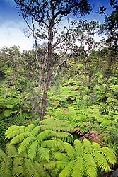 Hapu`u Pulu or Fern Tree, Cibotium glaucum, and `Ohi`a Lehuna, Metrosideros polymorpha, rainforest, Hawaii Volcanoes National Park, Kilauea, Big Island, Hawaii
