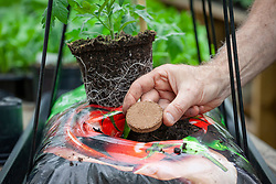 Planting tomatoes in a grow bag - adding a Tomato Starter fertilising biscuit