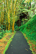 Hanging ferns and giant bamboo along the Akaka Falls Trail, Akaka Falls State Park, The Big Island, Hawaii.