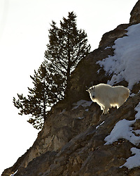 Backlit Mountain Goat in the Snake River Range of Alpine Wyoming