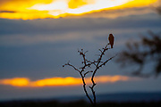 African pygmy falcon (Polihierax semitorquatus) perched on a thorn tree at sunset. This is the smallest raptor found on the African continent. It is found in eastern and southern Africa. This falcon preys on insects, small reptiles, and small mammals.