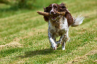 "Springer Spaniel ""Matty"" running with a stick   Photo: Peter Llewellyn"
