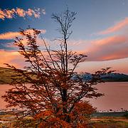 Beech Tree along the shore of Laguna Azul Torres del Paine National Park, Laguna Azul, Patagonia, Chile