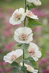 Alcalthaea suffrutescens 'Parkallee' syn. Alcea × Althaea, Alcea × kitaibela 'Parkallee' - Hollyhock