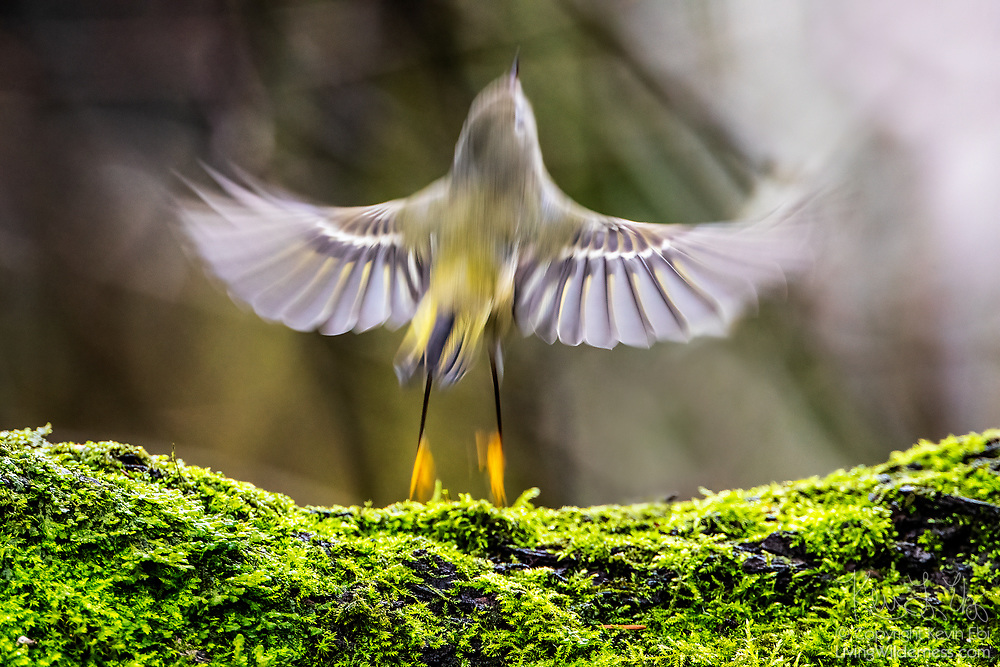 A ruby-crowned kinglet (Regulus calendula) leaps from the fork of elm tree trunk to catch an insect in Snohomish County, Washington. Ruby-crowned kinglets are very active when they are foraging, frequently hopping to catch small insects and spiders.