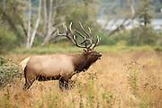 Bull Elk profile with full rack, water in background
