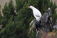 White Eared Pheasant bird, Crossoptilon crossoptilon, sitting on a rock in the U-shaped valley as he takes a look around at Baima Snow Mountain Nature reserve, Yunnan, China
