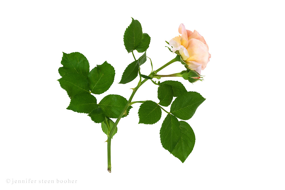 A flower of the David Austin hybrid musk rose 'Molineux' on a white background.